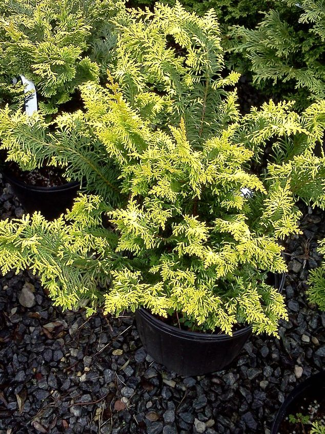 beautiful and bright colored conifer