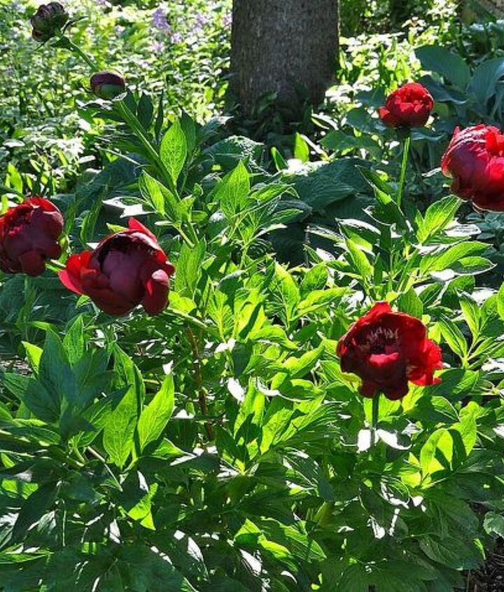 Peonies doing well in a shady area.