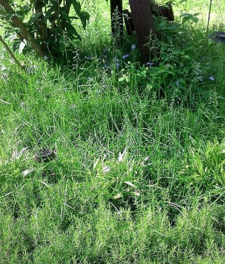 q how do i get grass out of a phlox bed, flowers, gardening, landscape