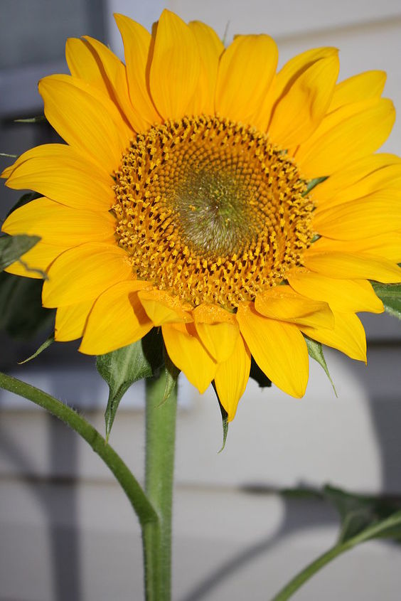10 ft. Sunflowers.......Annuals, but dropped seeds can give you New blooms for next year!