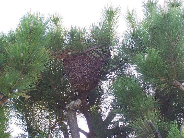 a little side note these are pictures of a tree in our back yard a swarm of bees, gardening, pest control, Bee swarm about 30 000 bees protecting their queen