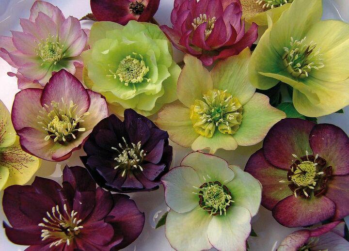 q lenten roses, flowers, gardening, landscape