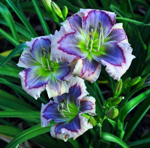 tips on growing daylilies, container gardening, flowers, gardening, perennials, On all types of Daylilies spent flowers should be snapped off daily and the entire flower scape should be cut off after all buds have passed