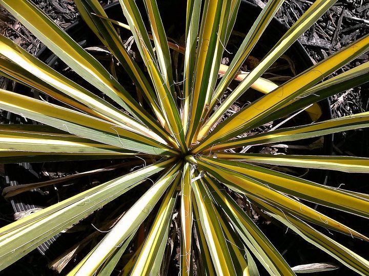Yikes, I love this plant but not so much for a children's garden with it's pokey leaf blades