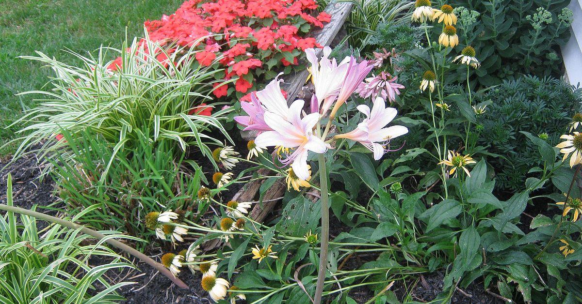 Amaryllis Belladonna Pink Naked Ladies Surprise Lily Bulbs