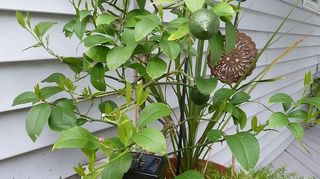 q hometalkers advice for growing my own lemon tree s indoors, gardening, tree about 3 tall