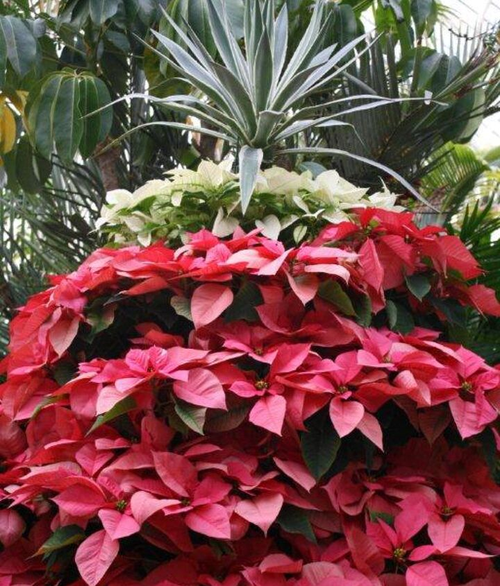 Estate staff grows more than 1,000 poinsettias. They also manage 80 varieties of roses.