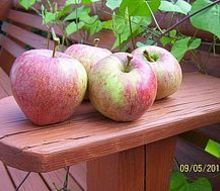 what type of apple, gardening