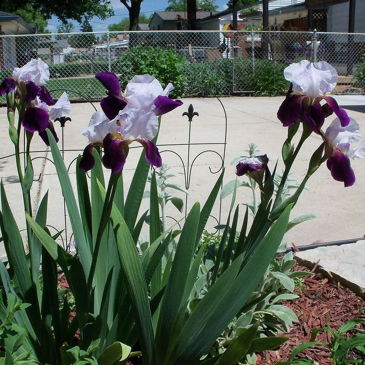 Love this dark purple and white iris!