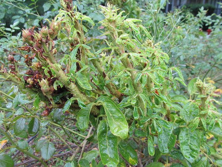 q garden question rose bush louisville ky, gardening, It s been a long hot summer with very little rain