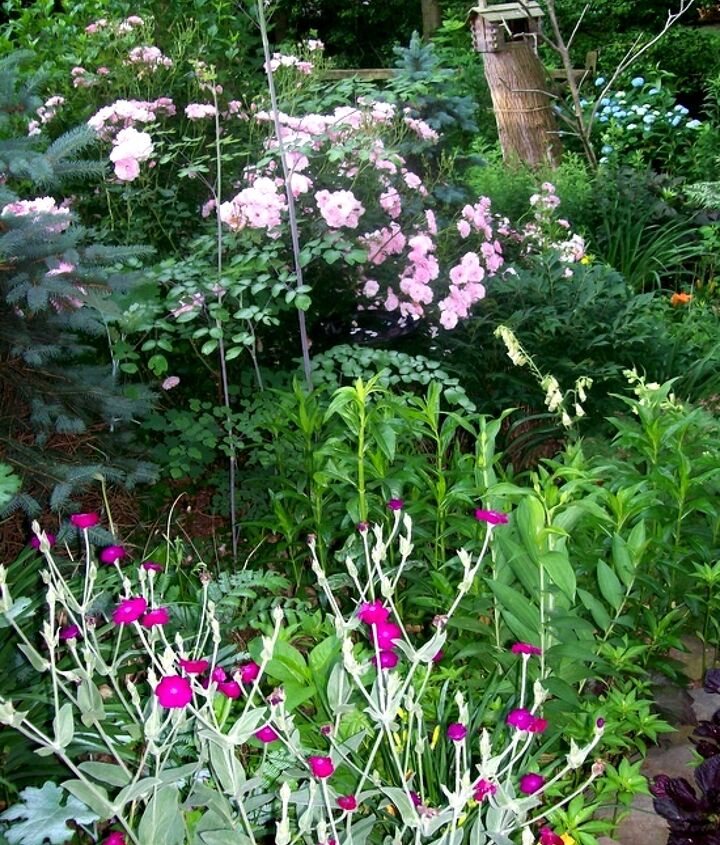 Show stoppers ~ Hot pink Lychnis, blue spruce and pink Fairy Roses