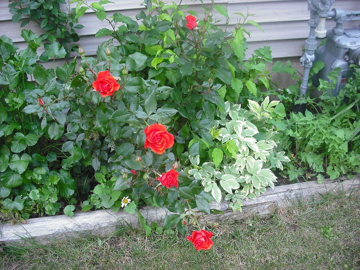 sharing my roses and flowers with garden 1, flowers, gardening