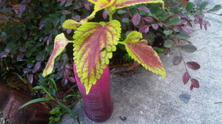 q trying to propagate a trusty rusty coleus never done this before, gardening, perennial