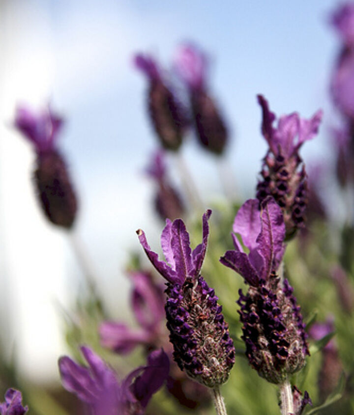 Ants avoid lavender, if possible.