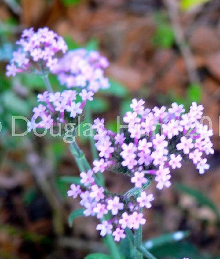 """Verbena bonariensis """"Lollipop"""" grows to half the height of the standard verbena and is an absolute butterfly magnet in my garden."""