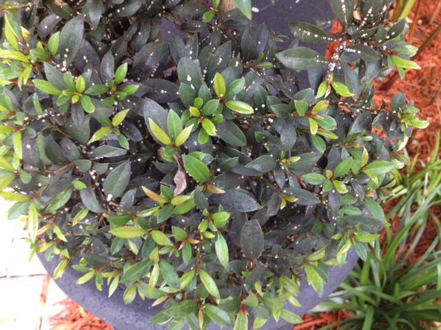 problem on my topiary, gardening
