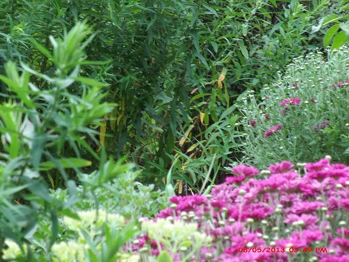on the left are my asters which have not bloomed yet and some seedum up front with some more mums