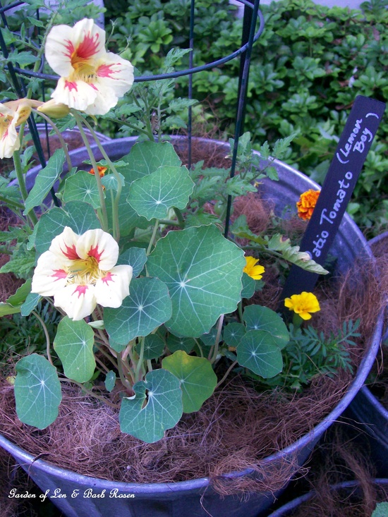 nasturtiums and tomato plant in a planted galvanized trashcan with paint stick marker