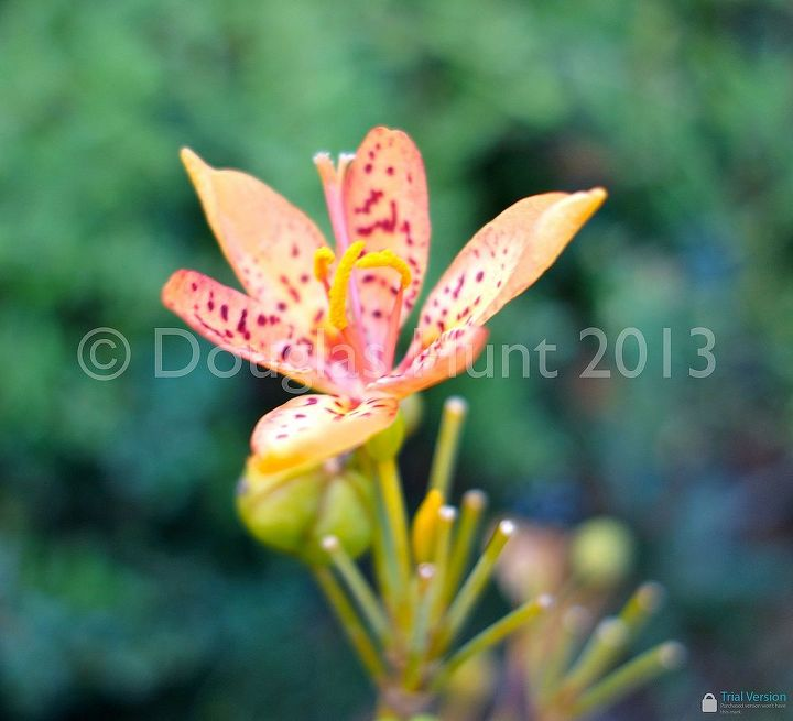 Blackberry lily (Iris domestica, formerly Belamcanda chinensis)
