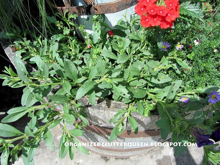 what to do about budworm caterpillars causing damage to petunias and geraniums, gardening, pest control