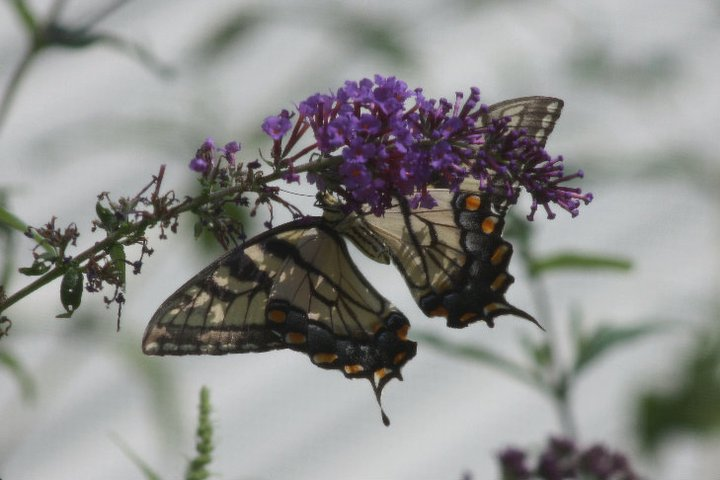 Butterfly Bushes Really do Attract Butterflies