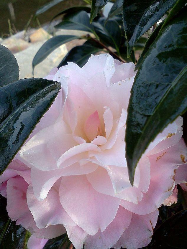 Button & Bows Camellia