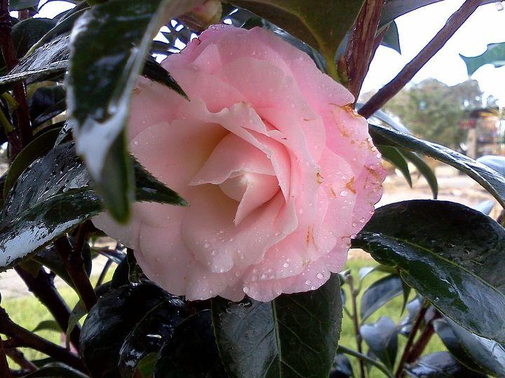 Buttons & Bows Camellia