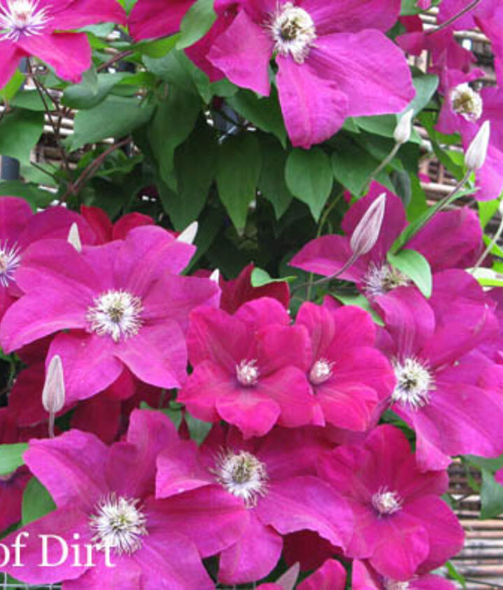 grow clematis for a gorgeous burst of colour, flowers, gardening, Don t tell the others but I think this one is my favourite
