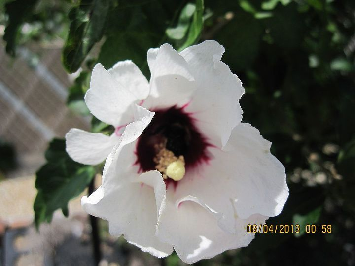 a bumble bee inside rose of Sharon flower