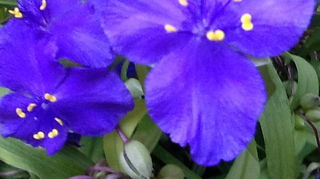 garden mystery what is it, flowers, gardening, Closeup of spiderwort flower the blue is beautiful especially on an early cool morning