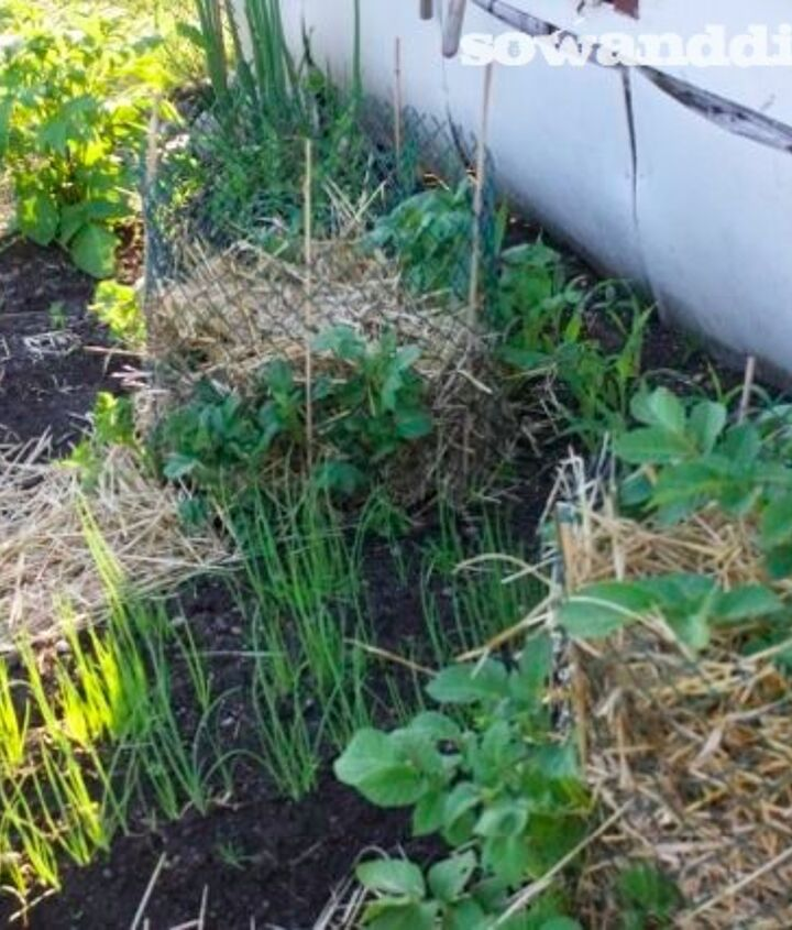 easiest potato growing method ever, gardening, Current picture of my russet potato s As potato s grow add more straw not hay see blog post building the pile vertically