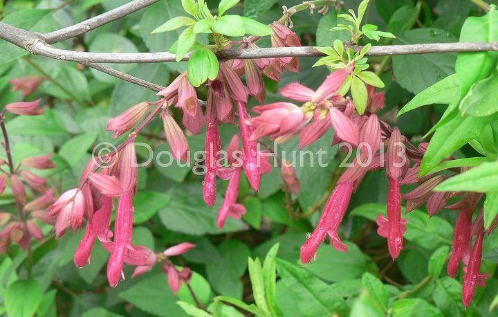 "Salvia hybrida ""Wendy's Wish"" with new foliage on the Vitex agnus castus."