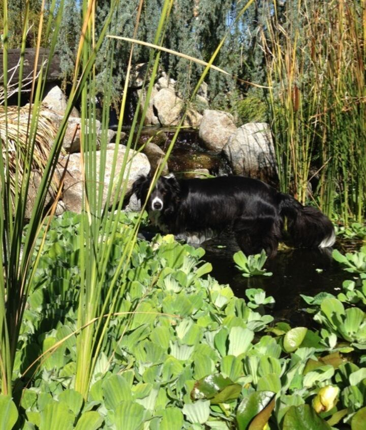 """He took a dip in the display pond and tried to """"herd"""" the koi!"""