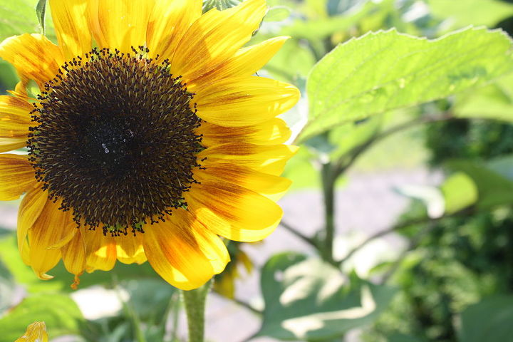 Sunflower Tree's......Extremely easy to grow by seed....they grow quickly and last to frost!