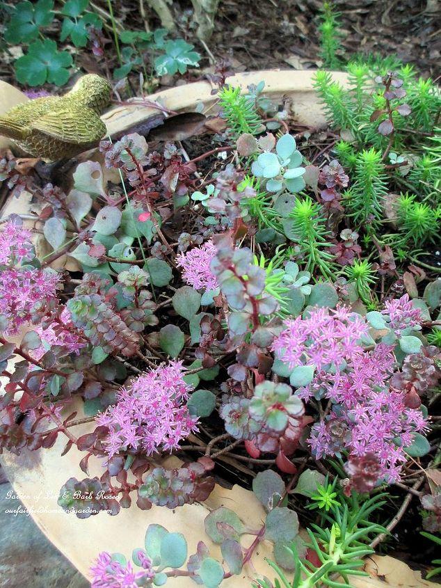 september sedums, gardening, Sweet little leaky birdbath I filled with an assortment of sedums in spring now blooming