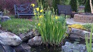 4 tips for success with aquatic plants, gardening, ponds water features, Yellow irises I probably need to trim up around the base