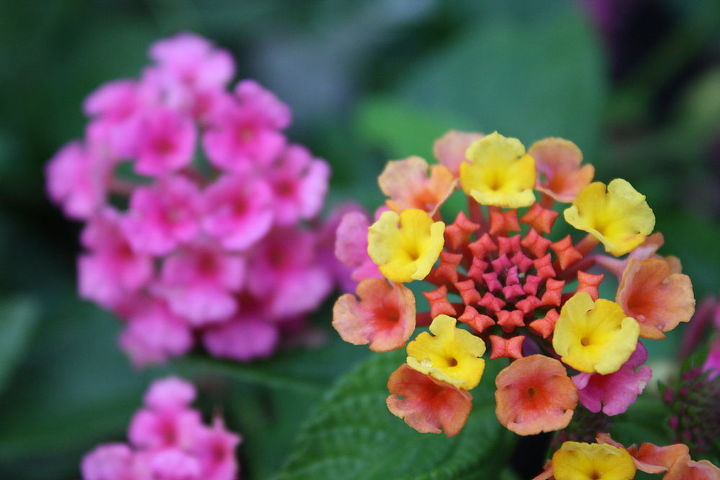 Lantana's.....Annual.  But I just recently found out that if you pot the plants to winterize, you can replant in the spring to produce full healthy bloom.