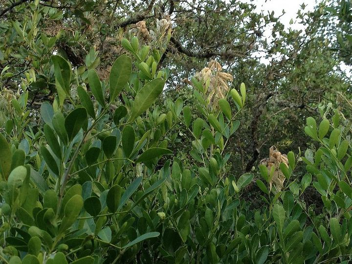 q mountain laurel problem, gardening