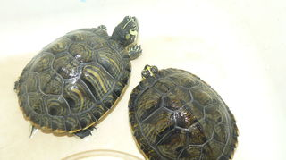 , This is Tony and Dayna from Daytona Beach Fla They are 2 beautiful yellow belly slider turtles I took in from a friend in college who could not keep them in her dorm