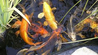 koi snatched by birds or stolen, outdoor living, pets animals, ponds water features, Here are some of my babies at feeding time they range in size from 15 to 22 inches and I just love them