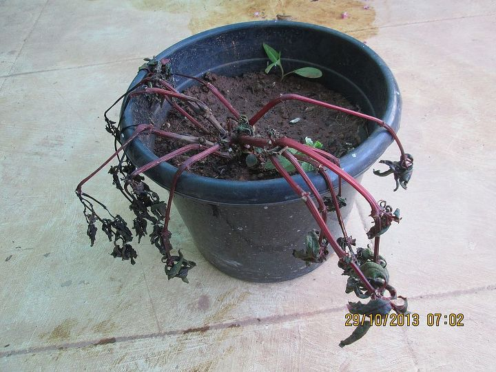 what happened to my new guinea impatiens, gardening