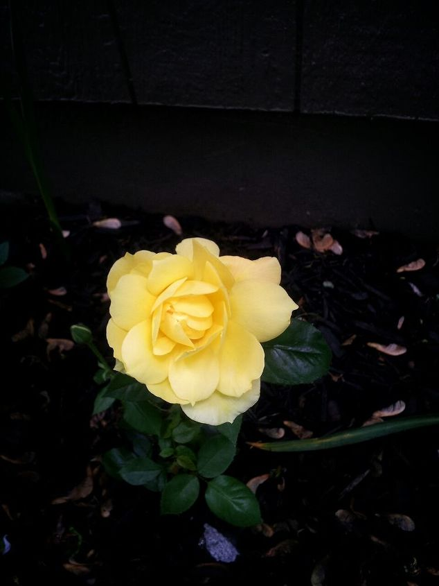 MY FIRST YELLOW ROSE BLOOM