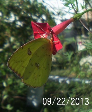 Anyone know what king of butterfly this is