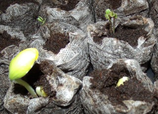 starting a garden using mulch only, gardening, raised garden beds, Seeds sprouting in my flats
