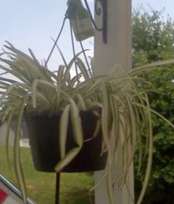 Spider plant before fertilizer or new location. Yellowing of leaves, drooping, brown ends. The neds were already trimmed.