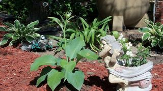 80 weeds in backyard what to do, gardening, landscape, Hostas and huecheras in a shady area