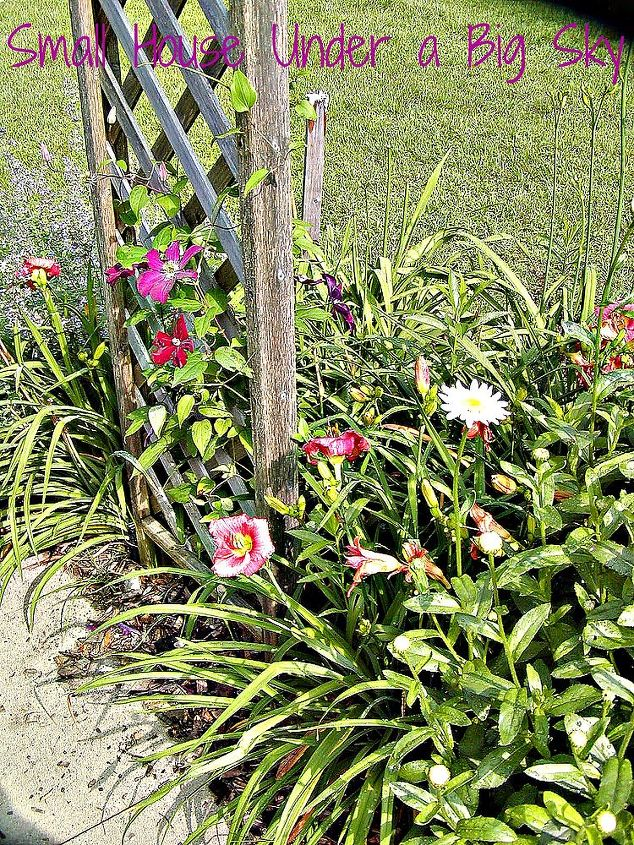 Daylilies and clematis under the trellis.