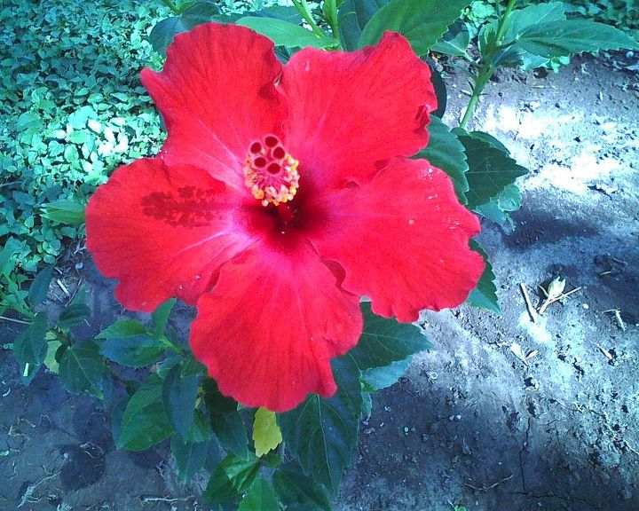 new plants i planted hibiscus, flowers, gardening, hibiscus, trying to create a curve border