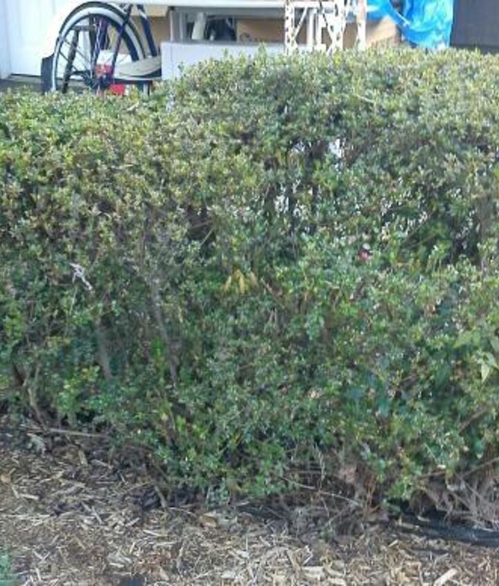 mystery bush at a friends house, gardening