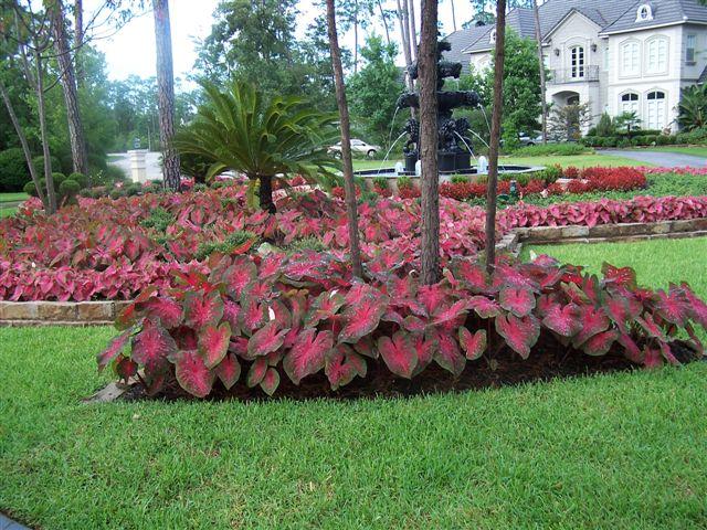 q caladium alternatives for a sunny yard, gardening, My front yard wish